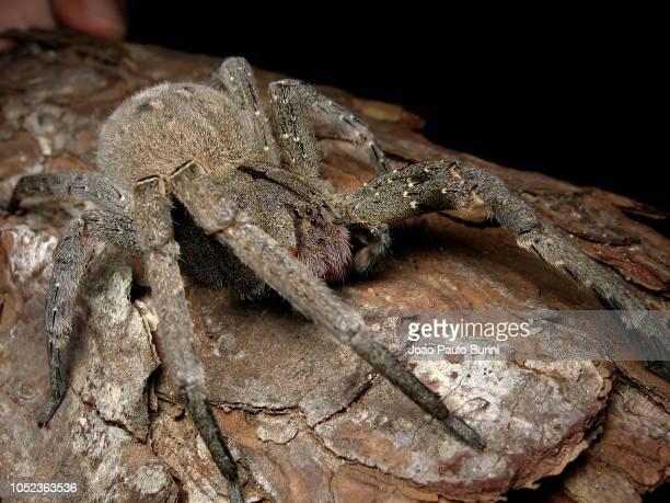fronal macro of a banana spider (aranha armadeira) on black background - braziliaanse zwerfspin stockfoto's en -beelden