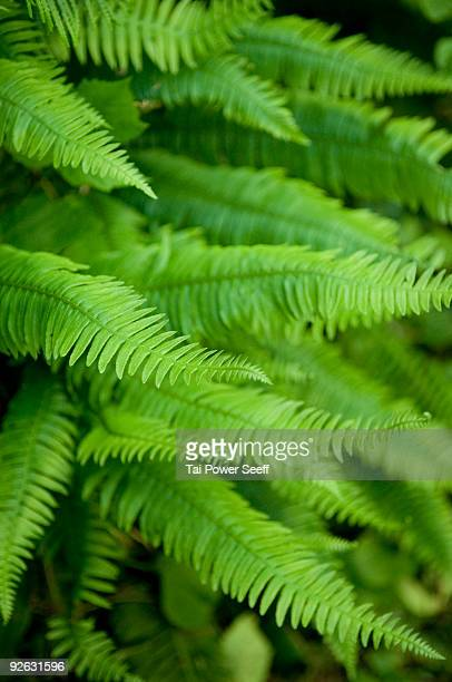 Fronds of the Western Sword Fern.