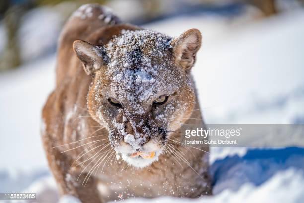 front close up of a mountain lion, looking to the camera - carnivora fotografías e imágenes de stock