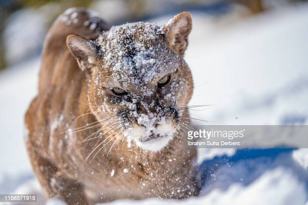 front close-up of a mountain lion, looking to camera with snow on its head and face - carnivora fotografías e imágenes de stock