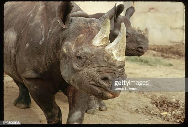 Front End of Black Rhinoceros