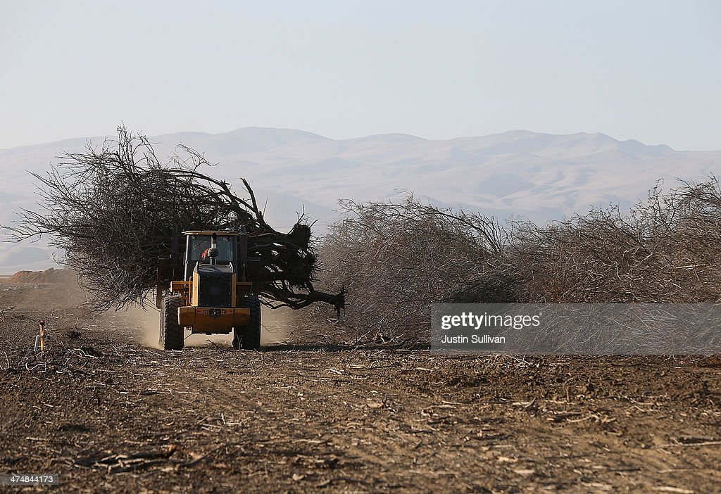 A front loader moves an uprooted almond tree at Baker Farming on February 25, 2014 in Firebaugh, California. Almond farmer Barry Baker of Baker Farming had 1,000 acres, 20 percent, of his almond trees removed because he doesn't have access to enough water to keep them watered as the California drought continues. The U.S. Bureau of Reclamation officials announced this past Friday that they will not be providing Central Valley farmers with any water from the federally run system of reservoirs and canals fed by mountain runoff.