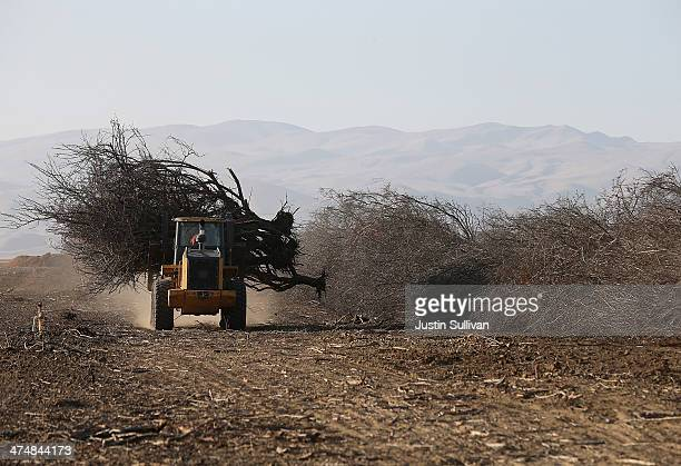A front loader moves an uprooted almond tree at Baker Farming on February 25 2014 in Firebaugh California Almond farmer Barry Baker of Baker Farming...