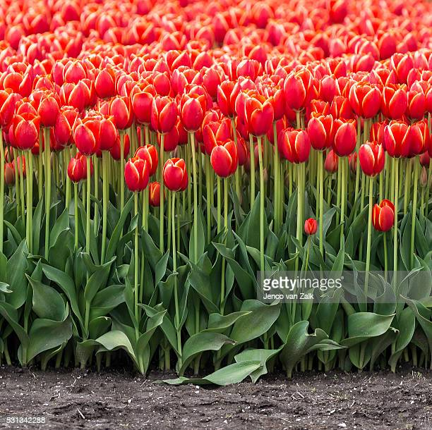 Front of the row with tulips