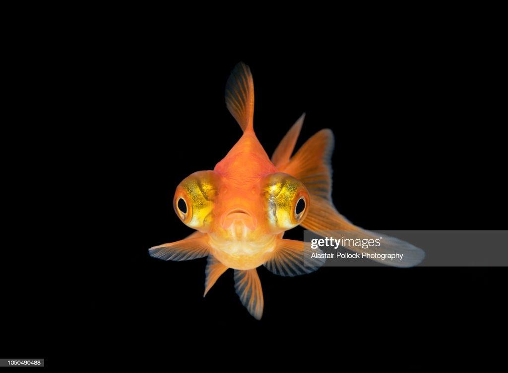 Front on Goldfish with black background : Stock Photo