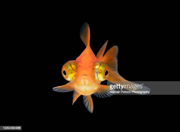 front on goldfish with black background - fish stock pictures, royalty-free photos & images