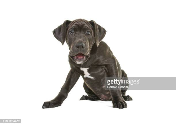 front on portrait of a brindle and white staffordshire bull terrier puppy with floppy ears looking at the camera. photographed against a white background. - staffordshire bull terrier stock pictures, royalty-free photos & images