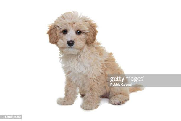 front on view of a sable and white maltese/poodle mix puppy on a white backdrop - maltese dog stock pictures, royalty-free photos & images