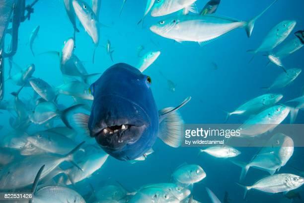 front on view of an australian blue groper among a large school of jacks, neptune islands, south australia. - ilha netuno - fotografias e filmes do acervo
