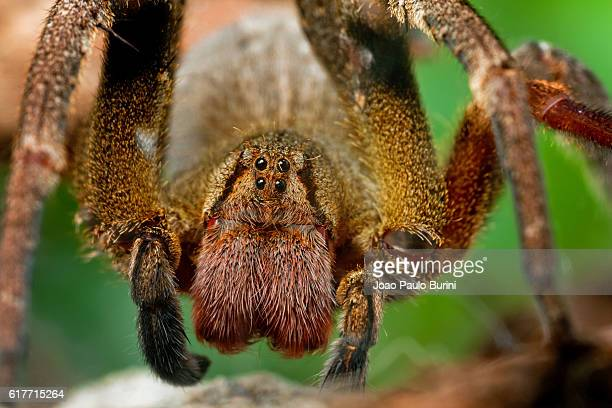 front protrait of a brazilian wandering spider / banana spider (phoneutria nigriventer) - braziliaanse zwerfspin stockfoto's en -beelden