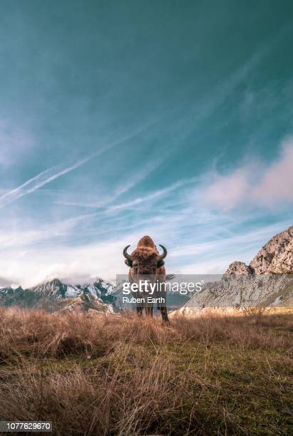 front side of a bison looking at camera with silhouette in the sky - wilderness area stock pictures, royalty-free photos & images