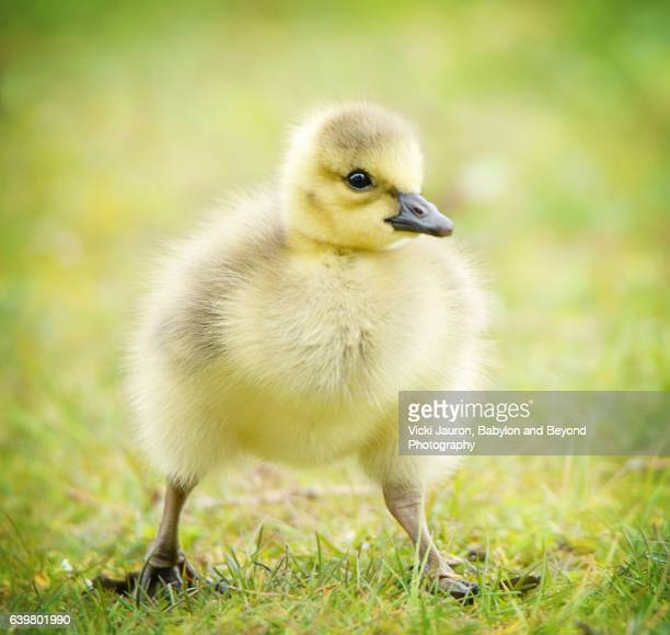 Front View Close Up of an Adorable Canada Goose (Branta Canadensis)Gosling