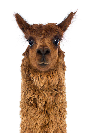 Front view Close-up of Alpaca against white background 516900358