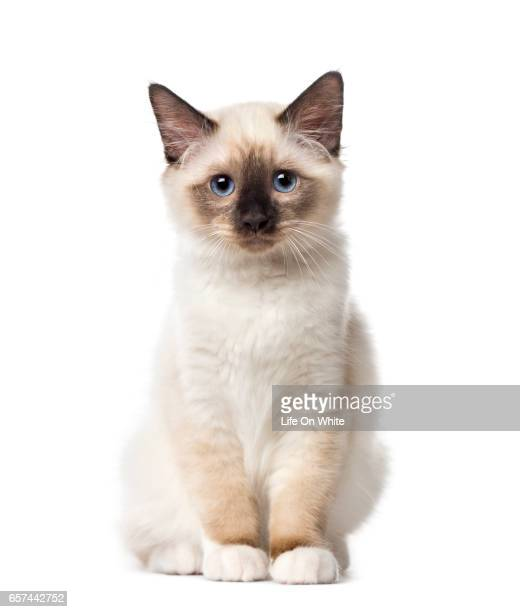 Front view of a Birman kitten sitting, 3 months old, isolated on white