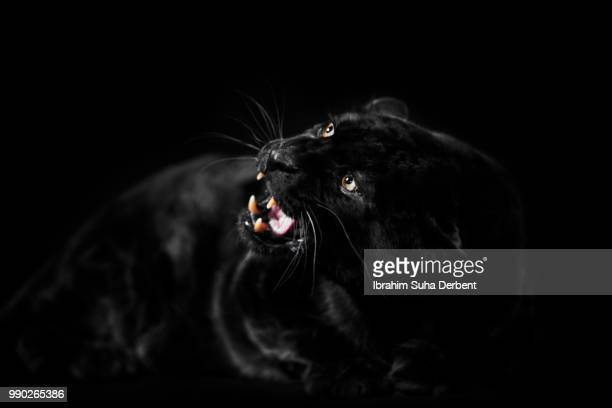 Front view of a black leopard.