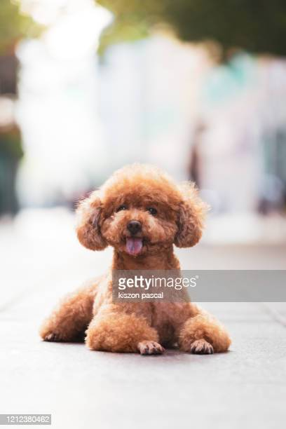 front view of a cute poodle dog waiting in the street . - barboncino nano foto e immagini stock
