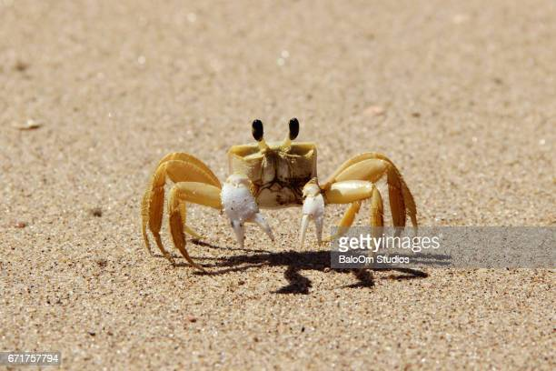 front view of a defensive atlantic ghost crab - crab stock photos and pictures