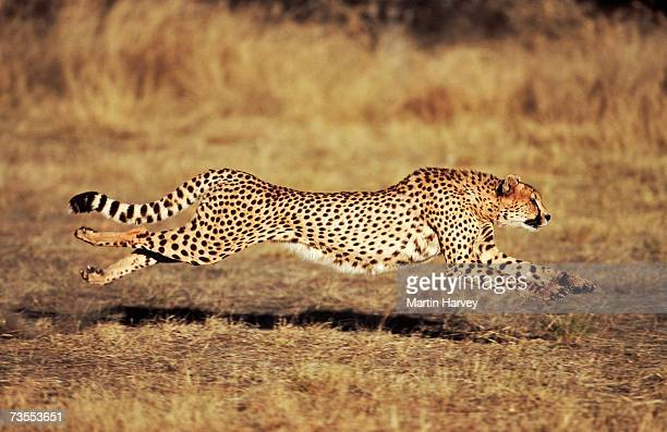 front view of a female cheetah (acinonyx jubatus) running - cheetah stock pictures, royalty-free photos & images