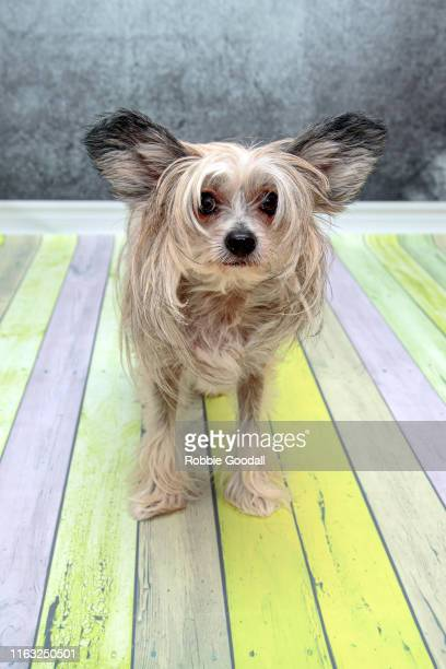 front view of a female sable and white chinese crested dog looking at the camera on a coloured backdrop - highgate stock pictures, royalty-free photos & images
