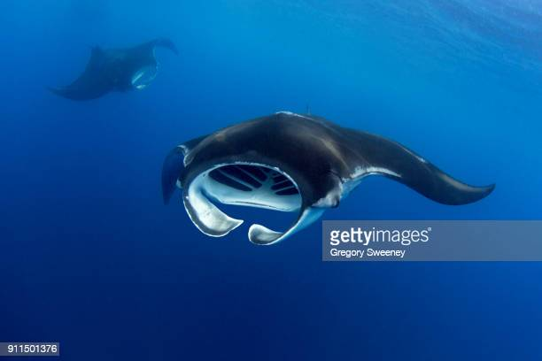 front view of a giant manta ray - isla mujeres ストックフォトと画像