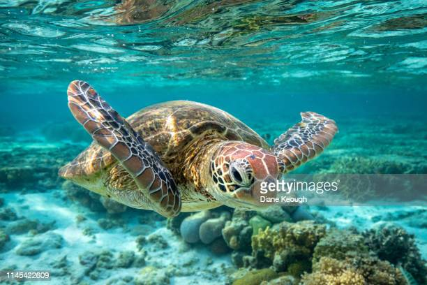 front view of a green sea turtle swimming towards the camera as it glides underwater over the great barrier reef. - tortue photos et images de collection