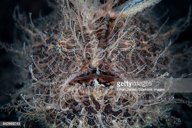 Front view of a hairy frogfish.