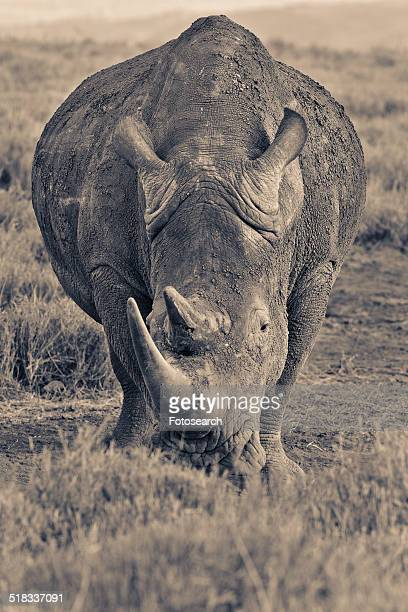 Front view of a rhino