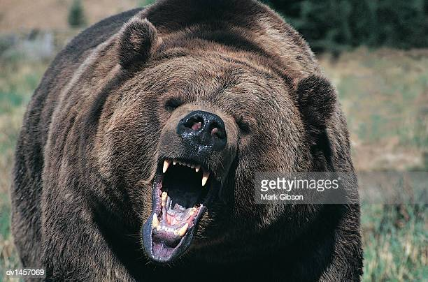 front view of a roaring grizzly bear - roaring stock photos and pictures