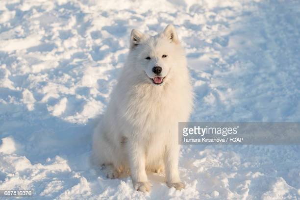 Front view of a samoyed dog sitting in snow