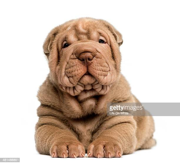 Front view of a Shar Pei puppy lying
