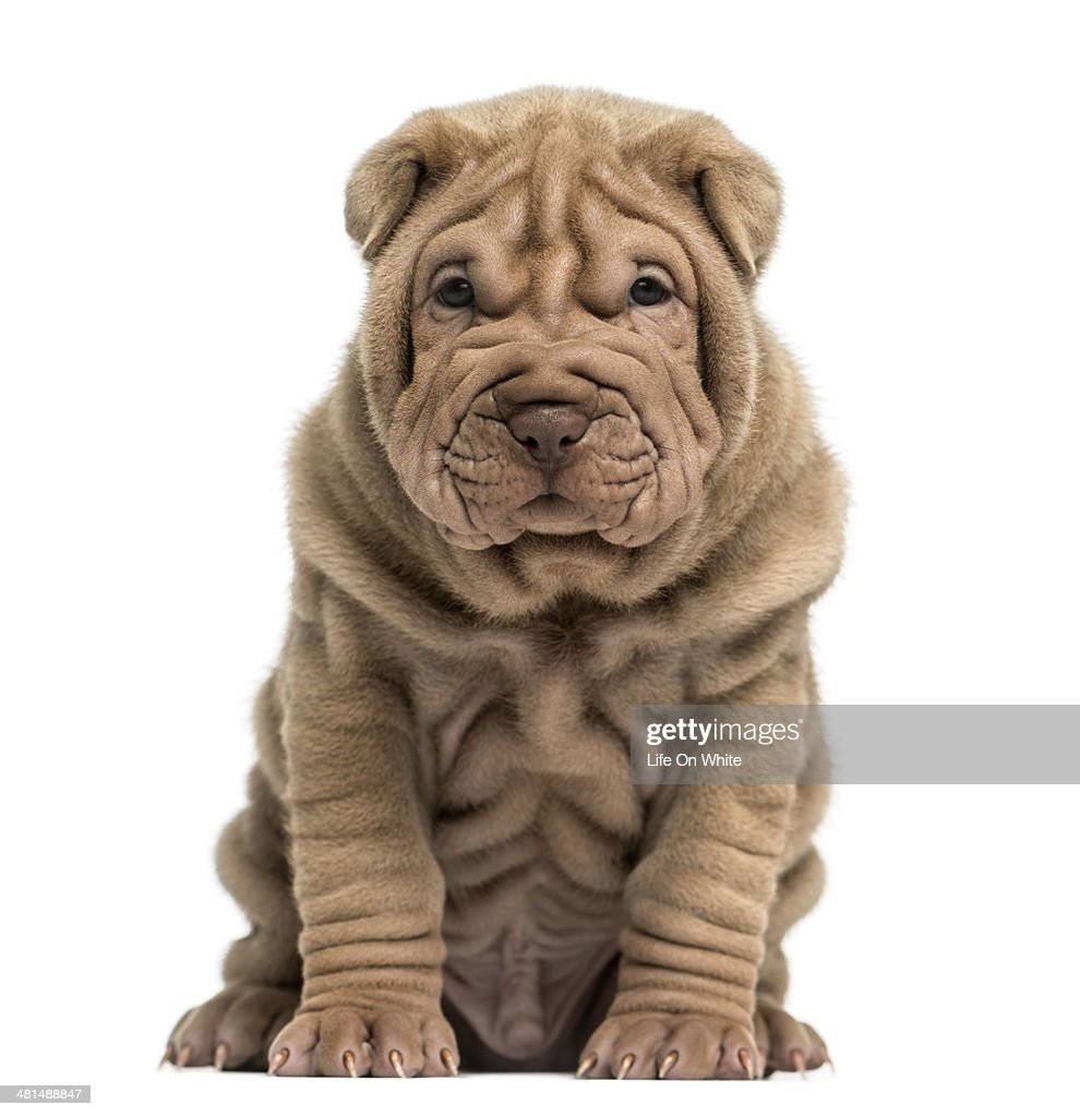 Front view of a Shar Pei puppy sitting : Stock Photo