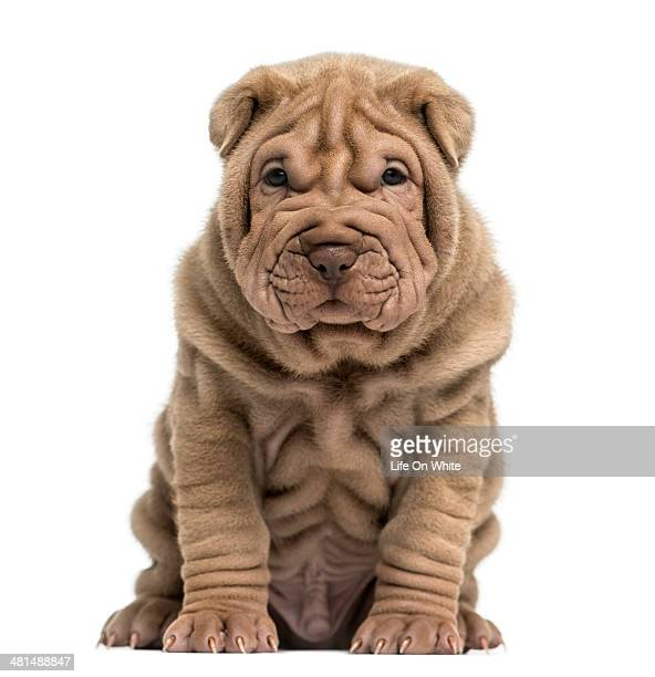 Front view of a Shar Pei puppy sitting