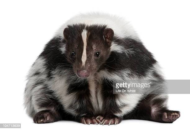 front view of a striped skunk sitting  - skunk stock pictures, royalty-free photos & images