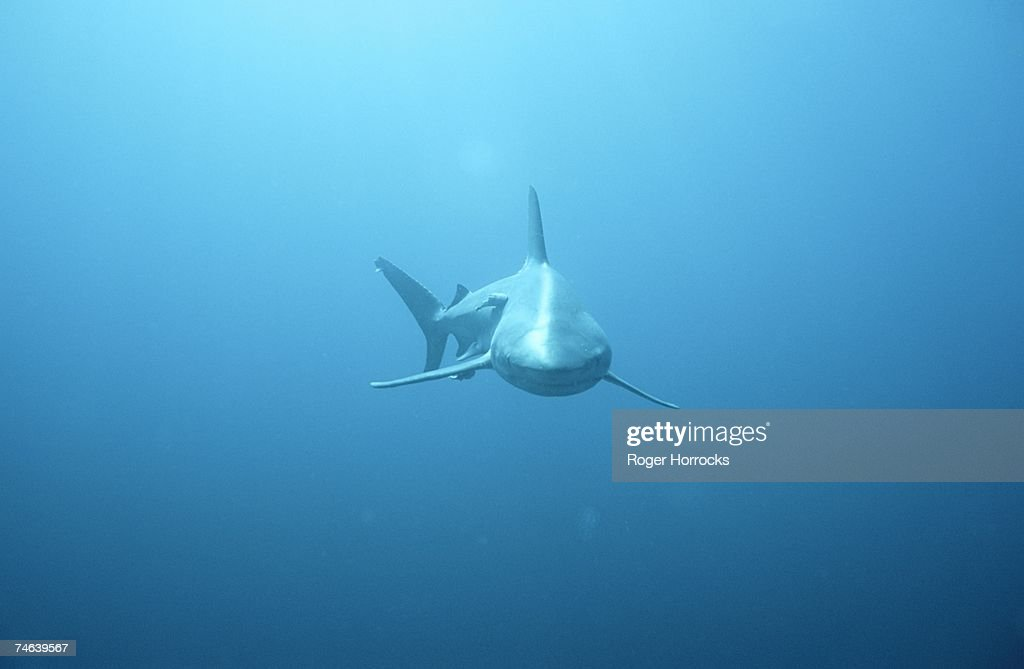 Front View of a Tiger Shark (Galeocerdo cuvieri) : Stock Photo