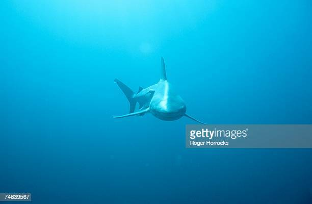 front view of a tiger shark (galeocerdo cuvieri) - tiger shark stock photos and pictures