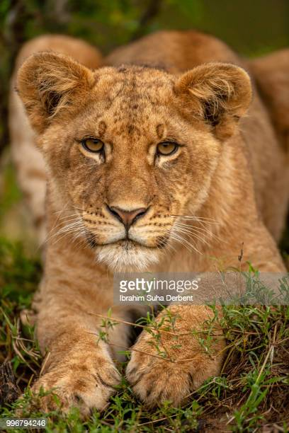 front view of a young lion lying calm - lion cub stock photos and pictures