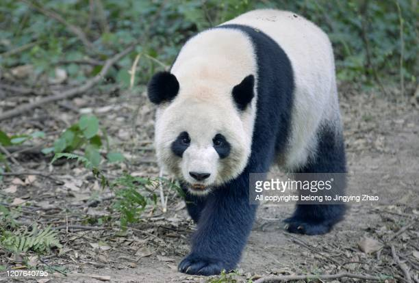 front view of an adult panda walking on the ground - giant panda stock pictures, royalty-free photos & images