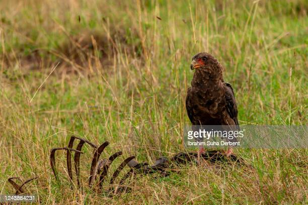 front view of bateleur eagle standing on a carrion - bateleur eagle stock pictures, royalty-free photos & images