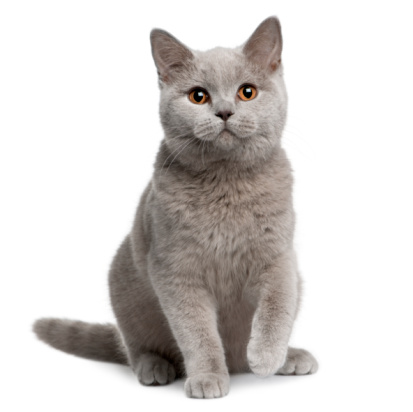 Front view of British shorthair cat, 7 months old, sitting. 104355461