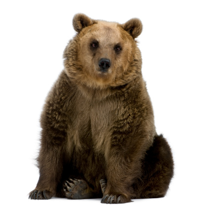 Front view of Brown Bear, 8 years old, sitting. 106430075