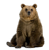Front view of Brown Bear, 8 years old, sitting.