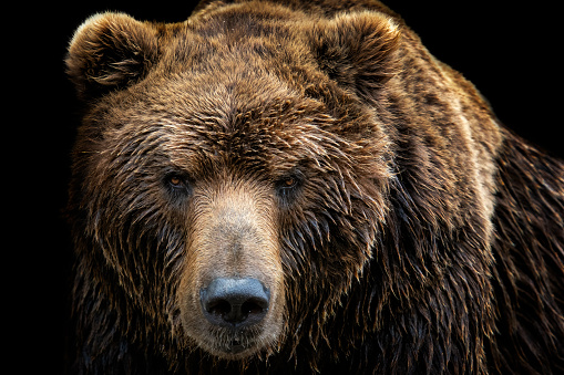 Front view of brown bear isolated on black background. Portrait of Kamchatka bear (Ursus arctos beringianus) 985662772