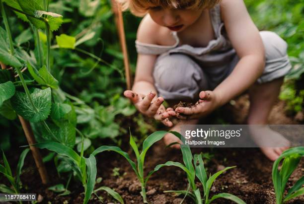 a front view of cute small child outdoors gardening. - vegetable garden stock pictures, royalty-free photos & images