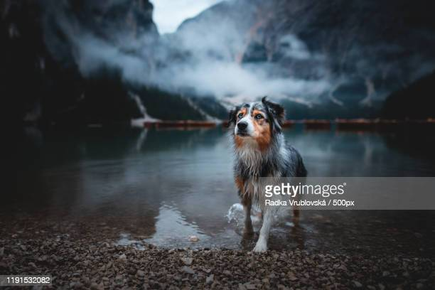 front view of dog walking by the lake in the dolomites, lago di braies, italy - images stock pictures, royalty-free photos & images