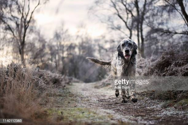 front view of dog walking on frosty path looking at camera - bush dog stock pictures, royalty-free photos & images