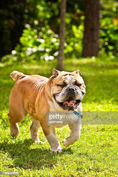 Front view of English Bulldog, walking