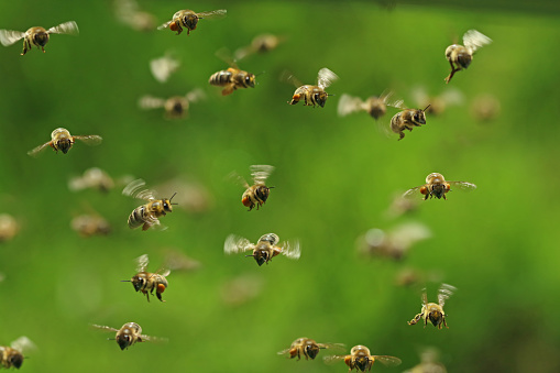 front view of flying honey bees in a swarm on green bukeh 969667122