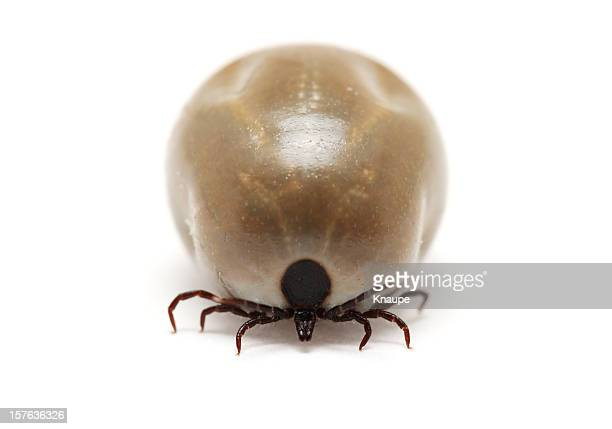 Front view of fully fed tick on white background