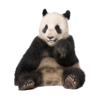 Front view of Giant Panda sitting against white background 118398450