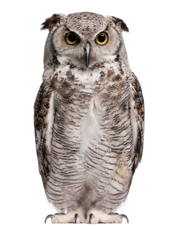 Front view of Great Horned Owl, Bubo Virginianus Subarcticus, standing. 108521207